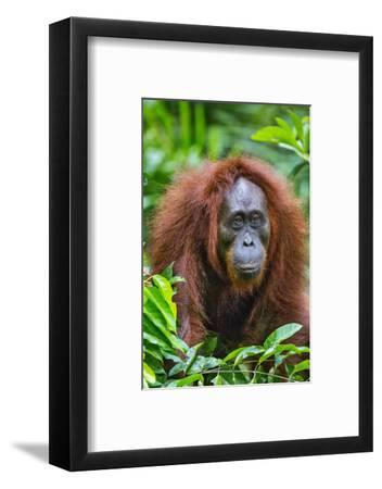 Indonesia, Central Kalimatan, Tanjung Puting National Park. a Female Bornean Orangutan.