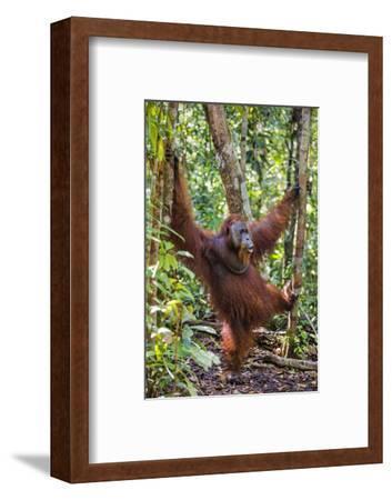 Indonesia, Central Kalimatan, Tanjung Puting National Park. a Male Orangutan Calling.