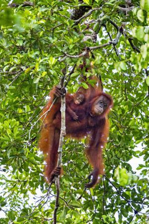 Indonesia, Central Kalimatan, Tanjung Puting National Park. a Mother and Baby Bornean Orangutan. by Nigel Pavitt
