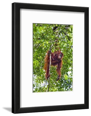 Indonesia, Central Kalimatan, Tanjung Puting National Park. a Mother and Baby Bornean Orangutan.