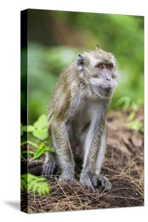 Indonesia, Flores Island, Moni. a Long-Tailed Macaque Monkey in the Kelimutu National Park