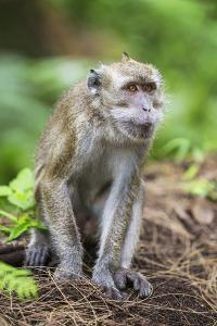 Indonesia, Flores Island, Moni. a Long-Tailed Macaque Monkey in the Kelimutu National Park by Nigel Pavitt