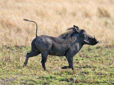 Katavi National Park, A Warthog Runs with its Tail in the Air, Tanzania