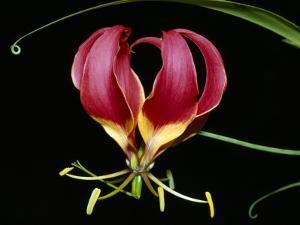 Kenya, Gloriosa Superba, a Spectacular Flower Earning the Popular Name of the Flame Lily by Nigel Pavitt
