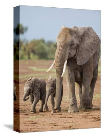 Kenya, Kajiado County, Amboseli National Park. a Female African Elephant with Two Small Babies.