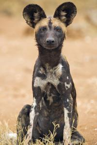 Kenya, Laikipia County, Laikipia. a Juvenile Wild Dog Showing its Blotchy Coat and Rounded Ears. by Nigel Pavitt