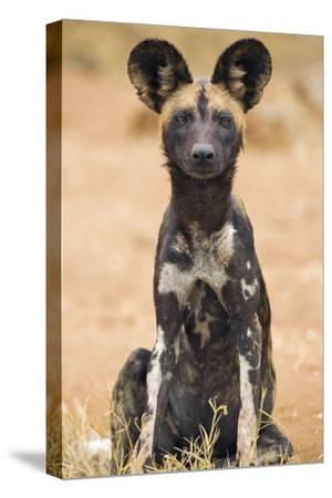 Kenya, Laikipia County, Laikipia. a Juvenile Wild Dog Showing its Blotchy Coat and Rounded Ears.