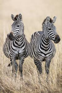 Kenya, Masai Mara, Narok County. Two Common Zebras on the Dry Grasslands of Masai Mara. by Nigel Pavitt