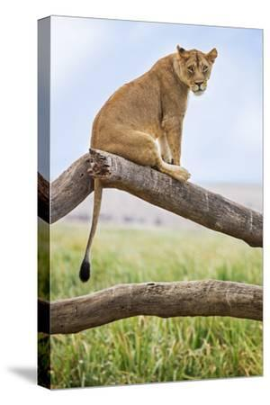 Kenya, Meru County, Lewa Wildlife Conservancy. a Lioness Sitting on the Branch of a Dead Tree.