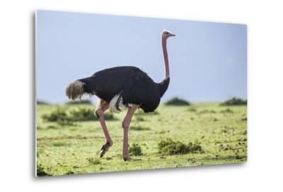 Kenya, Narok County, Masai Mara National Reserve. a Common Ostrich Strides across Open Plains.