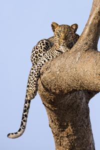 Kenya, Taita-Taveta County, Tsavo East National Park. a Leopard Lying on the Branch of a Tree. by Nigel Pavitt