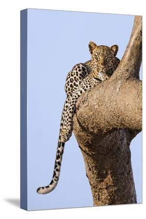 Kenya, Taita-Taveta County, Tsavo East National Park. a Leopard Lying on the Branch of a Tree.