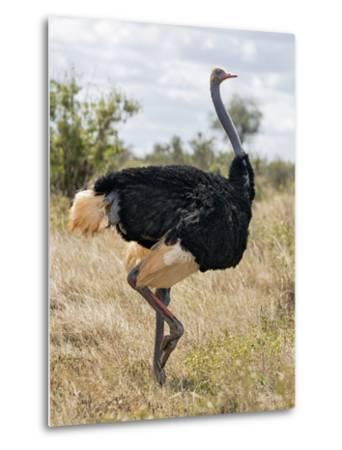 Kenya, Taita-Taveta County, Tsavo East National Park. a Male Somali Ostrich.