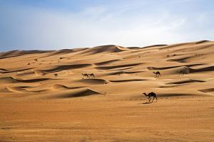 Oman, Wahiba Sands. Camels Belonging to Bedouins Cross Sand Dunes in Wahiba Sands. by Nigel Pavitt