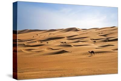 Oman, Wahiba Sands. Camels Belonging to Bedouins Cross Sand Dunes in Wahiba Sands.