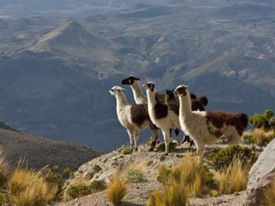 Peru, Llamas in the Bleak Altiplano of the High Andes Near Colca Canyon