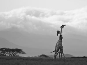 Two Reticulated Giraffes 'Necking' in the Early Morning by Nigel Pavitt