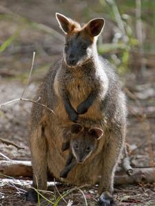 Victoria, A Wallaby and Her Joey on Phillip Island, Australia by Nigel Pavitt