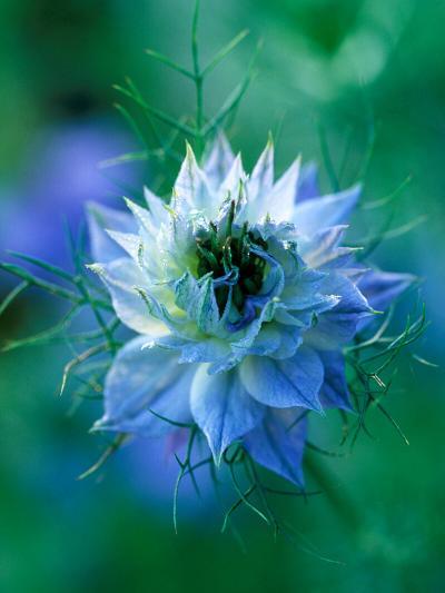 Nigella Damascena (Love-In-A-Mist), Close-up of Blue Annual Flower-Lynn Keddie-Photographic Print