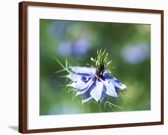 Nigella Damascena (Miss Jekyll), Close-up of Blue Flower-Ruth Brown-Framed Photographic Print