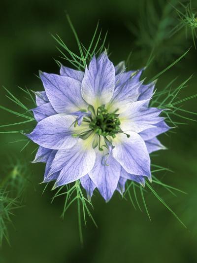Nigella (Love in the Mist), Close-up of Blue Flower Head-Lynn Keddie-Photographic Print