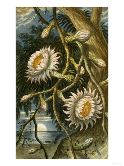 Night-Flowering Cactus, c.1874--Giclee Print