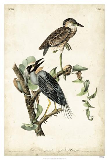 Night Heron-John James Audubon-Giclee Print