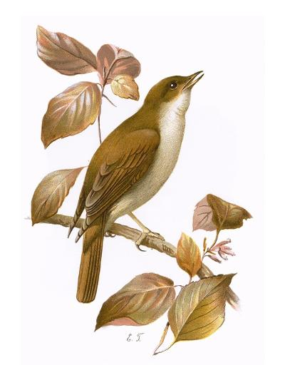 Nightingale-English-Giclee Print