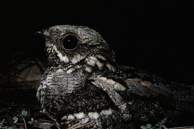 Nightjar on Ground, Woodland, Spain (Caprimulgus Europaeus)--Photographic Print