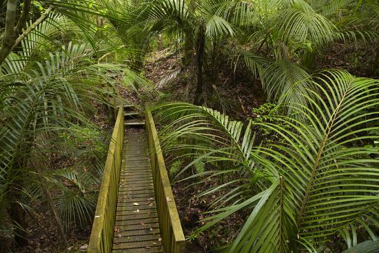 Nikau Palms and Footbridge at Parry Kauri Park, Warkworth, Auckland Region, North Island-David Wall-Photographic Print