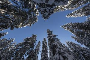 Fir Full of Snow in Bright Sunshine Photographed from Below by Niki Haselwanter