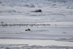 Gulls and Seals on Jokulsarlon Glacier by Niki Haselwanter