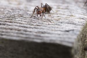 Macro Shot of a Red Wood Ant by Niki Haselwanter