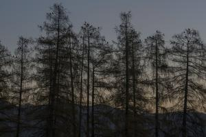 Rooks on Larch in the Morning Light by Niki Haselwanter
