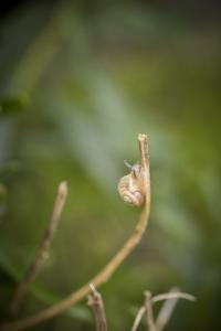 Smaller Banded Snail Cepaea Hortensis on Halm by Niki Haselwanter