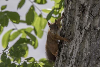 Squirrel on Walnut
