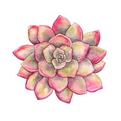 Watercolor Colorful Succulent Echeveria, Hand-Drawn Illustration in Vintage Style.