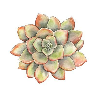 Watercolor Succulent, Vector Illustration in Vintage Style.