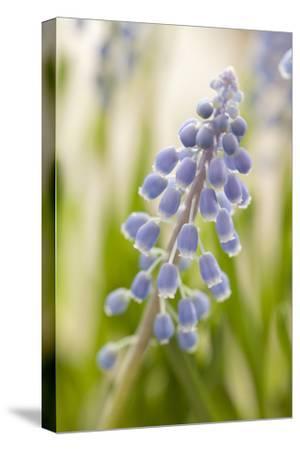 Hyacinth, Blossoms, Blur