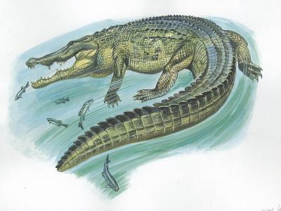 Nile Crocodile Crocodylus Niloticus Catching Fish--Giclee Print