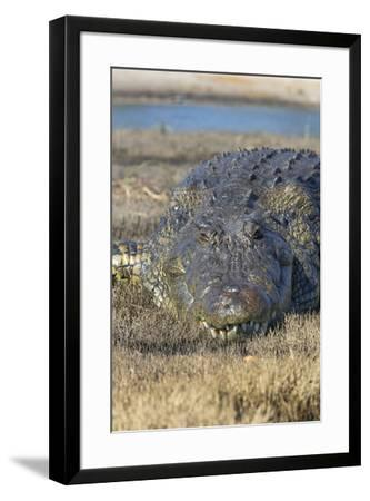 Nile crocodile (Crocodylus niloticus), Chobe River, Botswana, Africa-Ann and Steve Toon-Framed Photographic Print