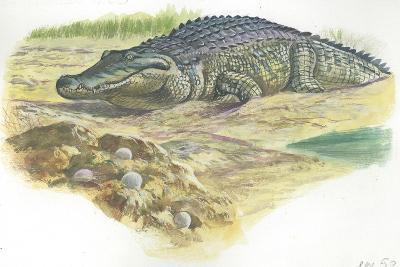Nile Crocodile Crocodylus Niloticus Near its Laid Eggs--Giclee Print