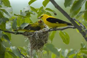 Golden Oriole (Oriolus Oriolus) Pair at Nest, Bulgaria, May 2008 by Nill