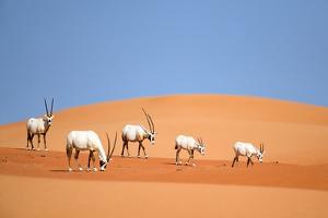 Arabian Oryx Family by Nimit Virdi