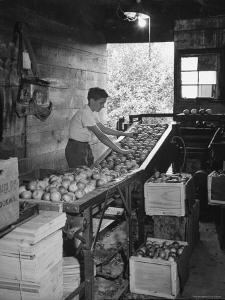 Boy Sorting Apples by Nina Leen