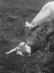 Charclais Mother Nuzzling Her Calf by Nina Leen