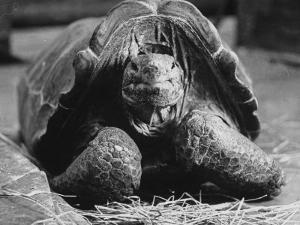 Close Up of Old Female Tortoise by Nina Leen