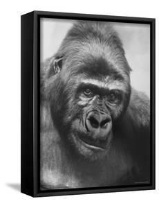 Gorilla by Nina Leen
