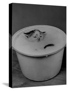 Greedily Hungry Kitten Almost Drowning in a Pot of Milk after Climbing over the Side to Drink by Nina Leen