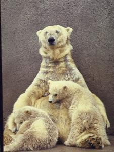 Hilda, a Polar Bear with Twins at Detroit Zoo Animal Conservation Wild Animal Propagation Trust by Nina Leen